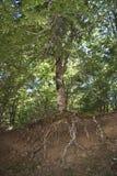与根的老结构树视线内 免版税图库摄影