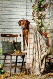与格子花呢披肩的Rhodesian Ridgeback在秋天装饰 库存图片