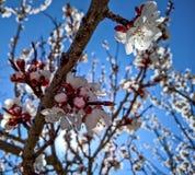 与桃子开花树的春天框架 库存照片