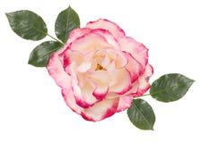 与桃红色中心,叶子,白色背景的白色玫瑰 免版税库存图片