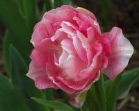 与桃红色口音的宏观白色郁金香 库存照片
