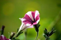 与桃红色和白色条纹的美丽的花在夏天 免版税库存照片