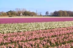 与桃红色和白色风信花的领域 免版税图库摄影