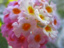 与桃红色和黄色瓣的俏丽的花在女王伊丽莎白公园庭院 库存图片