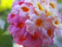 与桃红色和黄色瓣的俏丽的花在女王伊丽莎白公园庭院 库存照片