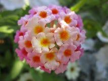 与桃红色和黄色瓣的俏丽的花在女王伊丽莎白公园庭院 图库摄影