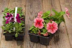 与桃红色和紫罗兰色喇叭花幼木的两张塑料花盆在年迈的木桌上 库存图片