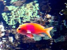 与桃红色地点的橙色鱼 免版税库存照片