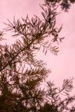 与桃红色天空的室外现出轮廓的杉木针纹理词根分支在背景中 库存图片