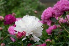 与桃红色康乃馨花的白色康乃馨花在后面地面 免版税图库摄影