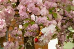 与桃红色开花和镯子的开花的树在它 免版税库存图片