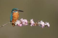 与桃红色开花的一只共同的翠鸟 库存照片