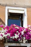 与桃红色开花的喇叭花的窗口在威尼斯,意大利开花 免版税图库摄影