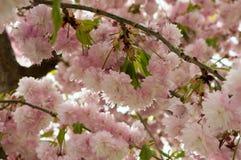 与桃红色开花的开花的树 免版税库存图片