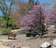 与桃红色开花的树的空的城市公园长椅 库存照片