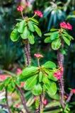 与桃红色开花的棘手的多汁植物 免版税库存图片