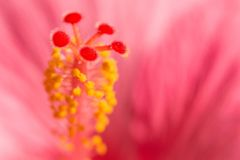 与桃红色异乎寻常的热带Hibiskus花的花卉被弄脏的背景 免版税库存照片