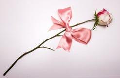 与桃红色弓的白色玫瑰 库存照片