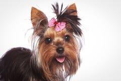 与桃红色弓的约克夏狗小狗在它的头发 库存照片
