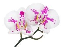 与桃红色斑点的两朵兰花 库存图片