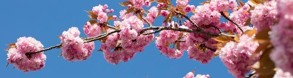 与桃红色日本樱桃分支的长的横幅在蓝天 免版税库存图片