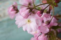 与桃红色日本樱花关闭的土气样式春天背景 图库摄影