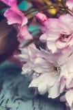 与桃红色日本樱花关闭的土气样式春天背景 库存图片