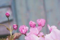 与桃红色日本樱花关闭的土气样式春天背景 免版税库存照片