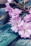 与桃红色日本樱花关闭的土气样式春天背景 免版税图库摄影