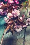 与桃红色日本樱花关闭的土气样式春天背景 免版税库存图片
