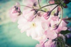 与桃红色日本樱花关闭的春天背景 库存照片