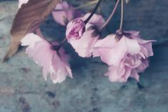 与桃红色日本樱花关闭的春天背景 免版税图库摄影