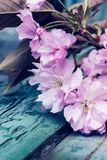 与桃红色日本樱花关闭的春天背景 免版税库存照片