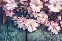 与桃红色日本樱花关闭的春天背景 免版税库存图片