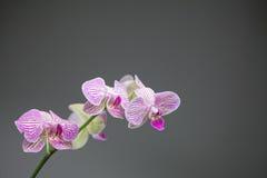 与桃红色条纹的白色兰花 免版税库存照片
