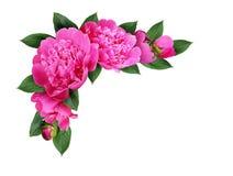 与桃红色牡丹的壁角安排开花,发芽并且离开 免版税库存图片