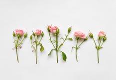 与桃红色玫瑰、叶子和芽的装饰样式在白色背景 平的位置,顶视图 免版税库存照片
