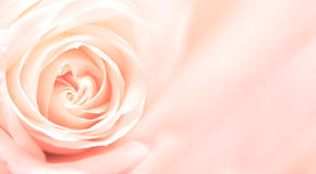 与桃红色玫瑰的横幅 免版税图库摄影