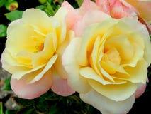 与桃红色玫瑰的甜黄色 免版税库存照片
