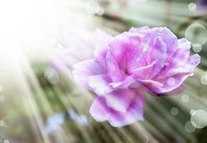 与桃红色玫瑰,夏天花的浪漫背景 图库摄影