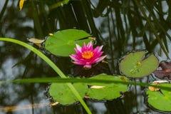 与桃红色瓣的一朵壮观的莲花和生长水的表面上的一个黄色中心在绿色中的 免版税库存照片
