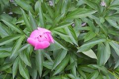 与桃红色瓣的大牡丹花 免版税库存照片