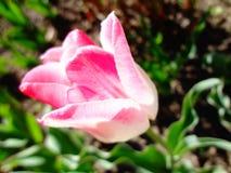 与桃红色瓣的晴朗的郁金香 库存照片
