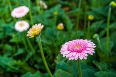 与桃红色瓣的黄色有之心的大丁草花从关闭 免版税库存图片