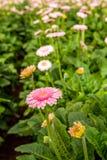 与桃红色瓣的黄色有之心的大丁草花从关闭 免版税图库摄影