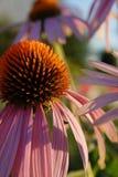与桃红色瓣的紫色coneflower 库存照片