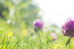 与桃红色的夏天领域开花三叶草,软的焦点 免版税库存照片