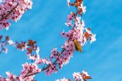 与桃红色的春天树开花在一个分支的杏仁开花在绿色背景,在与每日光的蓝天 库存照片