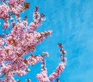 与桃红色的春天树开花在一个分支的杏仁开花在绿色背景,在与每日光的蓝天 免版税库存照片