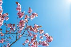 与桃红色的春天树开花在一个分支的杏仁开花在绿色背景,在与每日光的蓝天 图库摄影